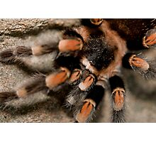 Orange Knee'd Tarantula  Photographic Print