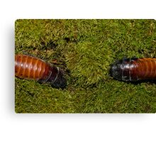 Hissing Cockroaches  Canvas Print