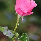 Rose in Rain by funkybunch
