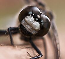Up Close and Personal with a Dragonfly by Don Arsenault