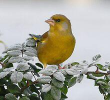 Greenfinch by evelynlarner