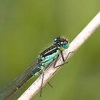 Irish Damselfly by Jon Lees