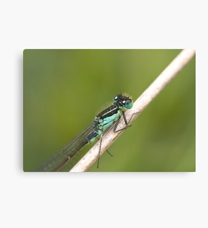 Irish Damselfly Canvas Print