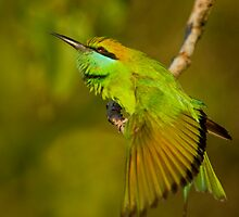 Green Bee-eater by Neil Bygrave (NATURELENS)