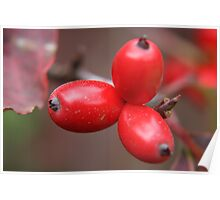 Dogwood Berries Poster