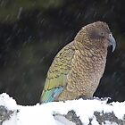 Snow Kea by Kimball Chen