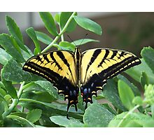 Tigertail Swallowtail Butterfly ~2~ Photographic Print