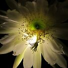 Cereus Blossom with Magical Glow by jsmusic
