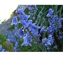 Bluebells - Surrey Photographic Print