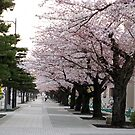 Line of Cherry Trees by icesrun