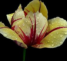 Rainy Day Tulip by Vickie Emms