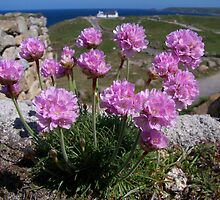 Sea Pinks at Land's End by Barry  Chapple