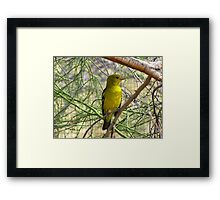 Western Tanager ~ Nonbreeding Male Framed Print