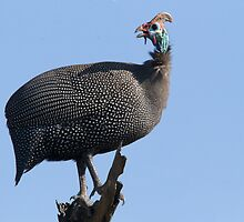 Helmeted Guineafowl by Michael  Moss