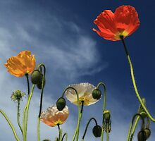 Poppies (A worm's eye view) by kerenmc