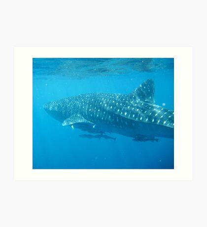 Whale Shark Leaving  Art Print