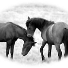 Colt Brumbies by Cassie Robinson
