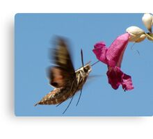 White-lined Sphinx Moth ~ 2 Canvas Print