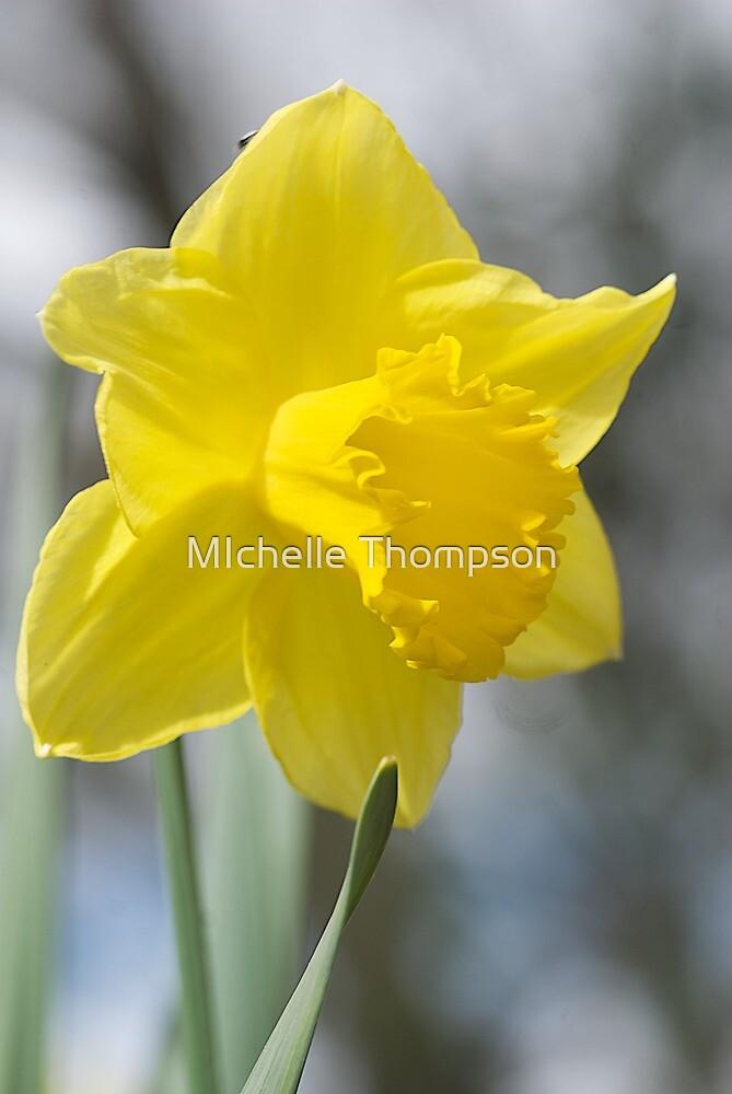 Daffodils, Kyneton by MIchelle Thompson