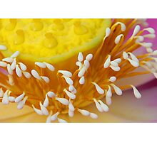 Lotus Flower II Photographic Print