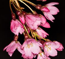 Ornamental Flowering Cherry by Chris Cobern