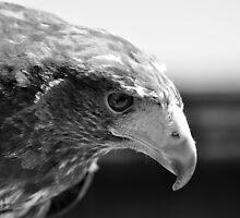 Harris Hawk  by Snogable