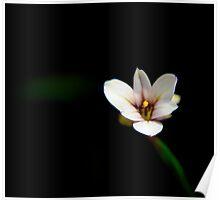 Small Alpine Flower Poster