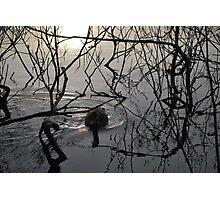 Pacific Black Duck,, Photographic Print