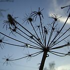 Cow Parsley by Veterisflamme