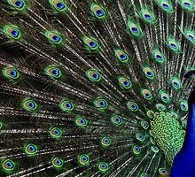 Peacock Tail by Veterisflamme