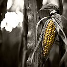 Corn by Squance