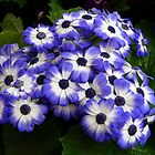 Cinerarias - Many by stevealder