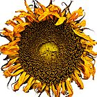 Sunflower by districtphoto