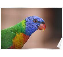 Australian Rainbow Lorikeet Poster