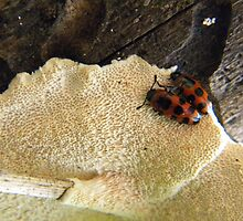 Beetles on Fungus by Helena Bolle