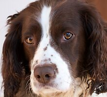 Brown and White Springer Spaniel Portrait by Rob Cole