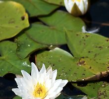 Lily Pads in Bloom I by HumbleLiving