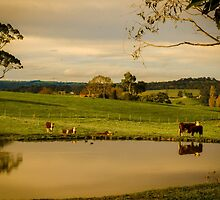 Cows by Angela Lisman-Photography