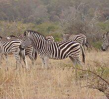 Zebra by Captain007