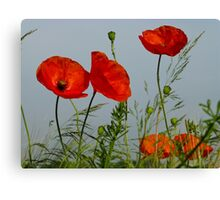 Red Poppies 6 - Mohnblume 6 Canvas Print
