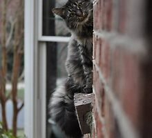 Maine Coon by JordySullivan