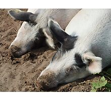 Sleeping Pigs Photographic Print