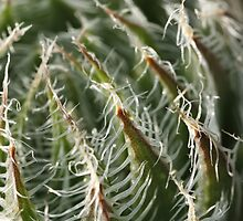 Cob Web Haworthia by Etwin