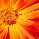 Orange Perfection #2 by Jennifer Hulbert-Hortman