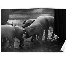 Piglets in Monochrome Poster