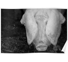 Pig in Black and White Poster