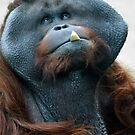 Bornean Orang Utan - (Pongo pygmaeus) by Robert Taylor