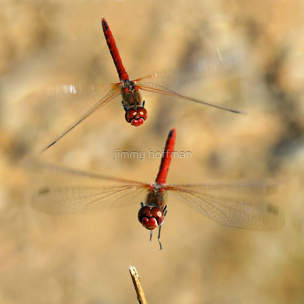 Dragonflies by jimmy hoffman
