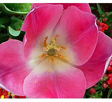 Pink Tulip - Up Close Photographic Print