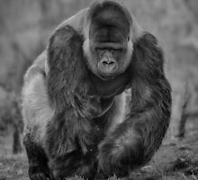 Silverback Taking A Stroll by Nigel Jones